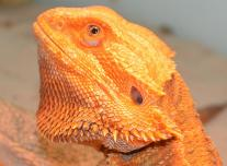 Red Orange Pogona