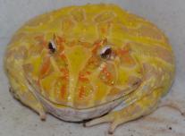 Díszes szarvasbéka (Ceratophrys cranvelli) albino