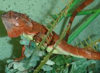 Zöld leguán piros-bébik (Iguana i. iguana)