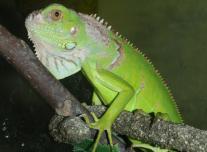 Zöld leguán - bébik (Iguana i. iguana)