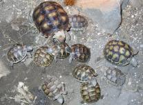Szegélyes teknős (Testudo marginata)