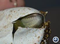 Green Iguanas hatching ( Zöld leguánok kelnek )